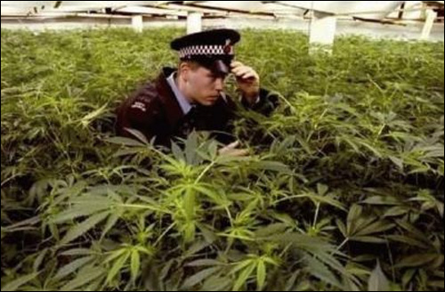 photo champ cannabis marijuana police herbe