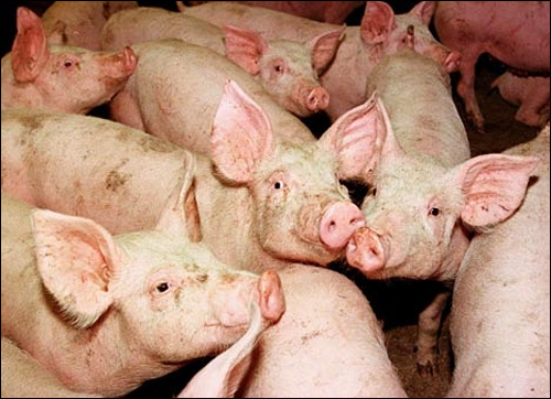 photo cochon grippe porcine alerte virus