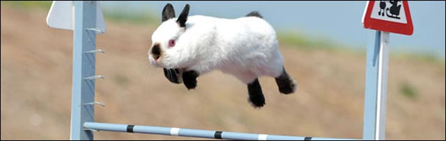 photo hd competition lapin saut obstacle hauteur comme cheval