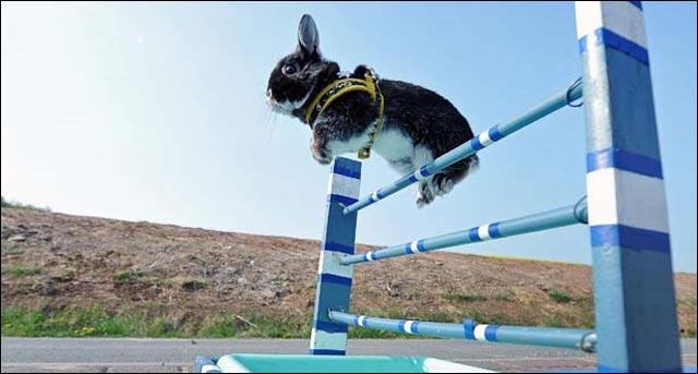 photo competition saut en hauteur lapin leporide animal lapin nain belier