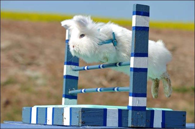 photo competition lapin saut en hauteur longueur mieux que cheval
