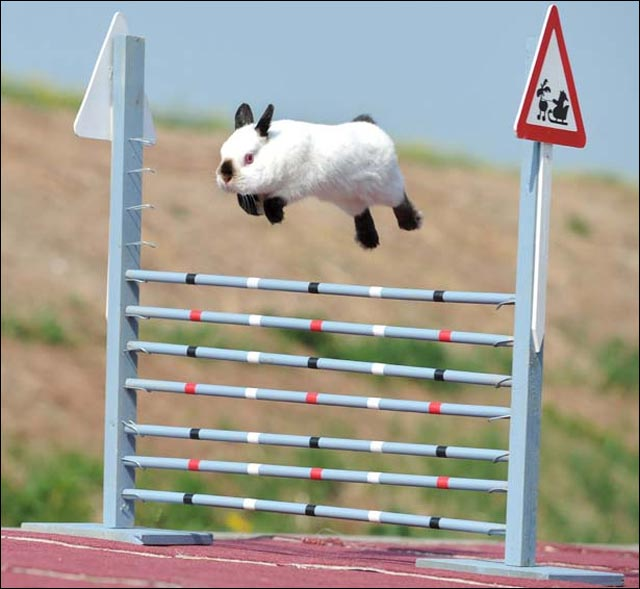 photo competition lapin saut obstacle hauteur mieux que cheval