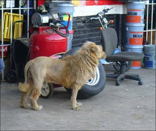 photo chien lion wtf it's a trap gardien de maison deguisement pour chien criniere