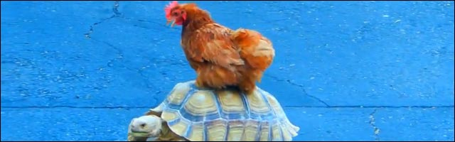 video insolite poule promenade sur carapace tortue lol