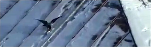 video drole insolite corneille oiseau snowboard buzz video snow toit maison