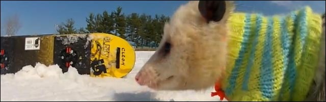 video insolite buzz rat snowboard opossum video drole snow ski lol