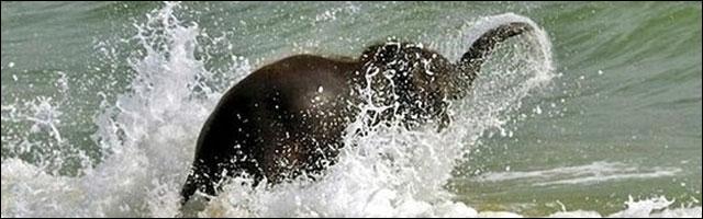 photo drole insolite elephant qui se baigne dans mer ocean sur plage sable fin