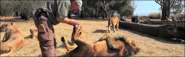 video insolite salon de beaute pour lion reserve africaine savane lionceau lionne