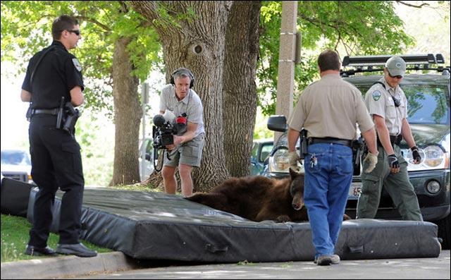 photo video ours brun grimpe arbre et tombe saut depuis arbre jumping bear