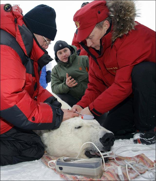 photo Vladimir Poutine soigne ours blanc Siberie WWF president Putin Russie