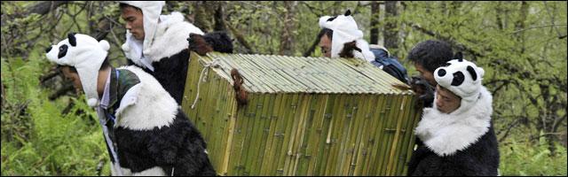 photo reintroduction panda geant dans foret Chine deguisement panda homme
