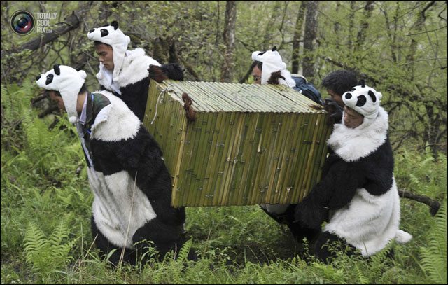 pandi panda photo reintroduction animal dans foret Chine deguisement panda
