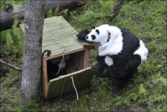 pandi panda photo reintroduction animal dans foret Chine deguisement panda