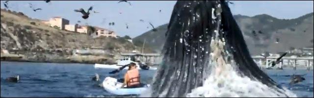 video incroyable baleine saute hors de eau sur fille qui fait du canoe kayak