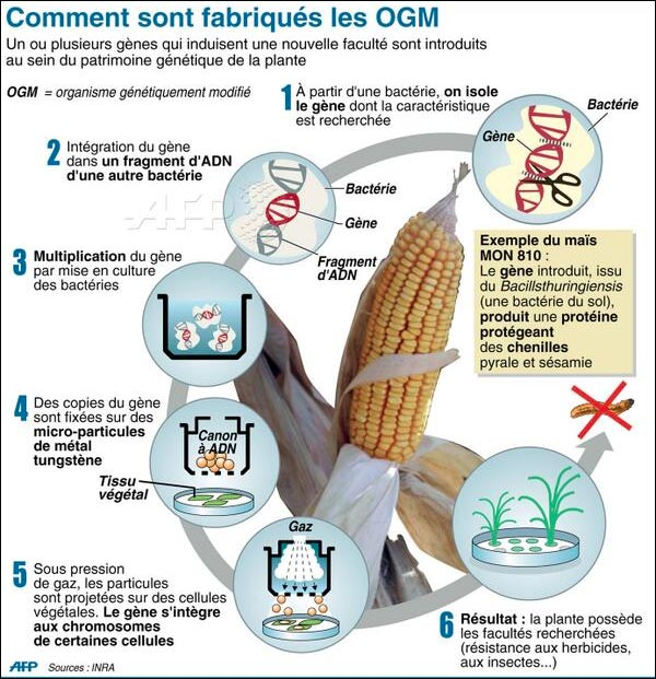 infographie comment fabrication OGM