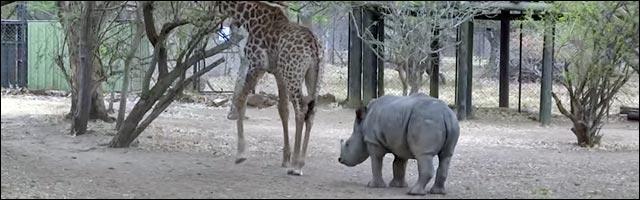 video bagarre girafe vs rhinoceros
