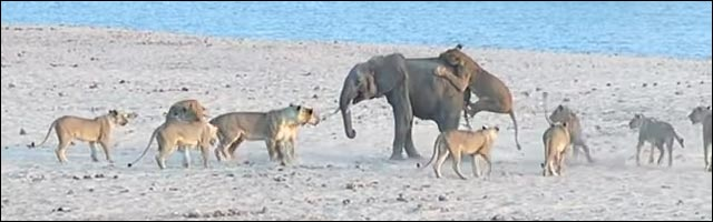 video elephant contre lion