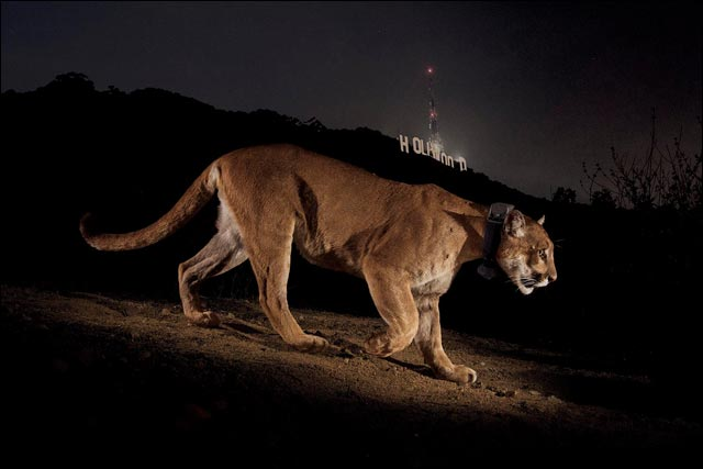 photo National Geographic puma