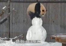 photo video panda bonhomme neige