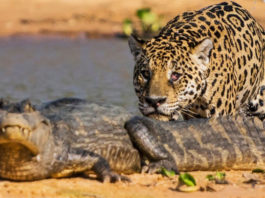 photo jaguar caiman