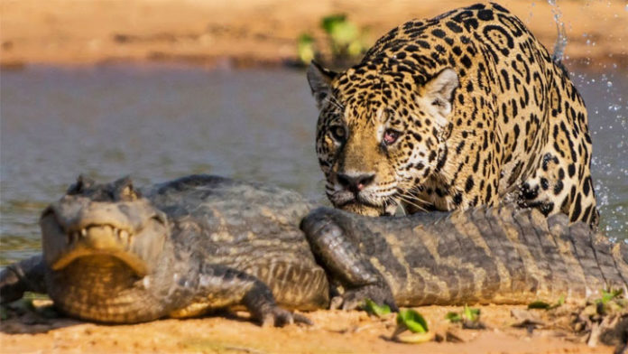 photo jaguar caiman